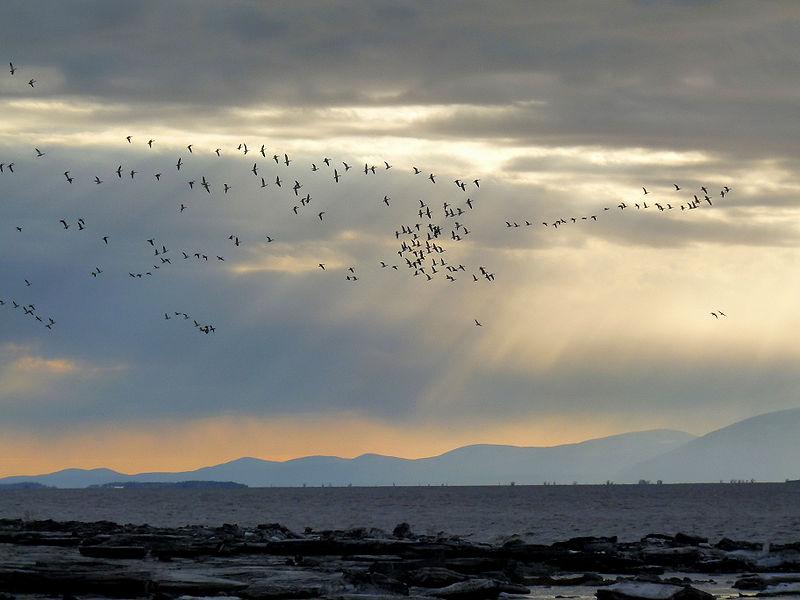 Vol d'oies sauvages, Islet-sur-Mer, Bas-Saint-Laurent , Québec, Canada (Wikipedia)