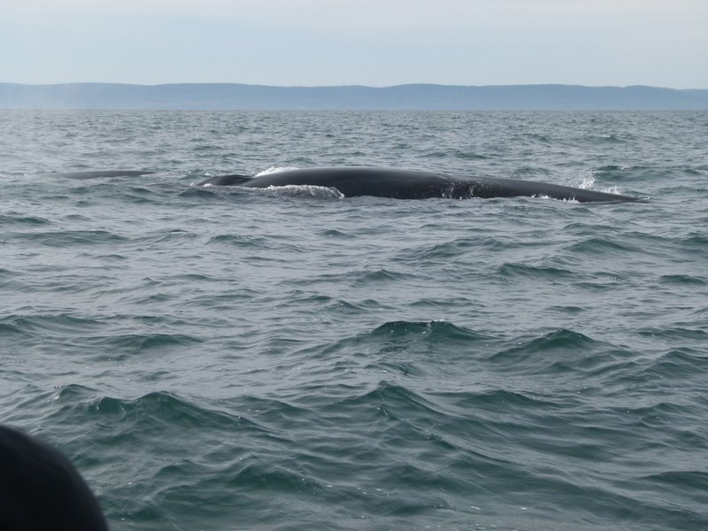 Zodiac whales watching cruise Tadoussac Quebec QC