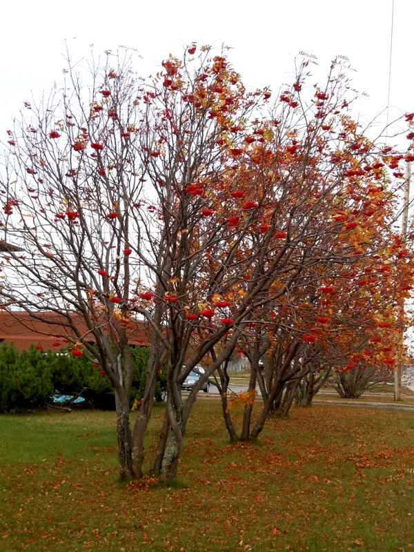 Rowan trees Sept-Îles Côte-Nord Quebec PC Scotiana 2010