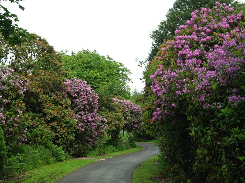 Hoddam Castle Estate Rhododendrons Dumfries and Galloway Scotland  © 2006 Scotiana