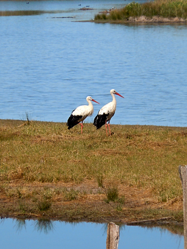 Bassin d'Arcachon Le Teich ornithological park storks © 2011 Scotiana