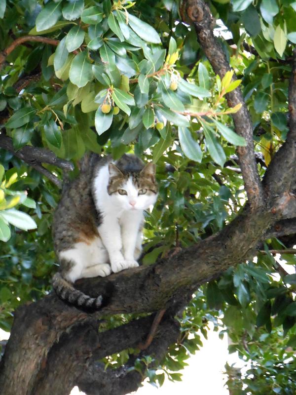 France Languedoc-Roussillon Pyrénées-Orientales Ille-sur-Têt A cat in a tree 'Le gardien des lieux'  © 2012 Scotiana