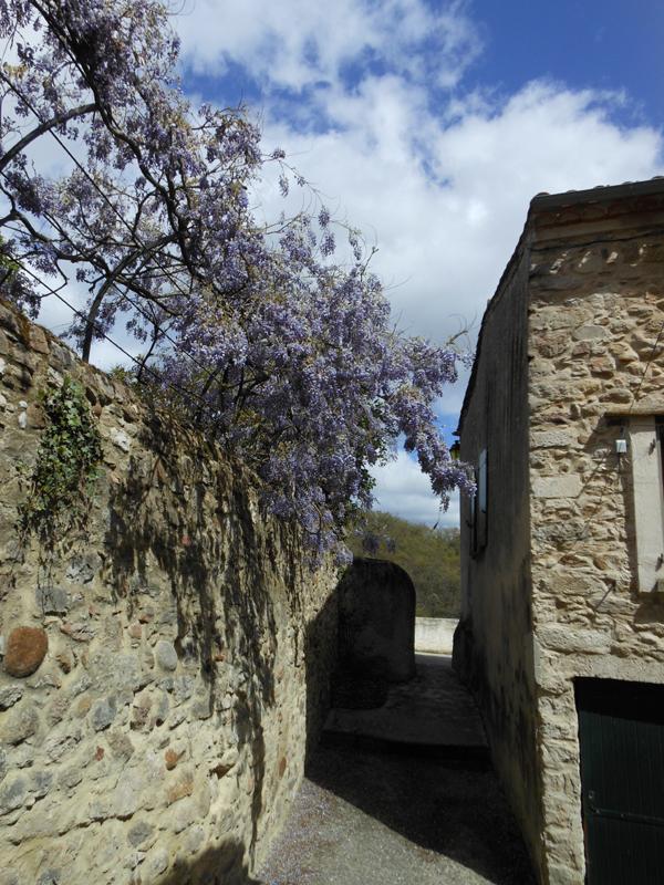 France Languedoc-Roussillon Aude Montolieu glycine bleue (wisteria)  © 2012 Scotiana