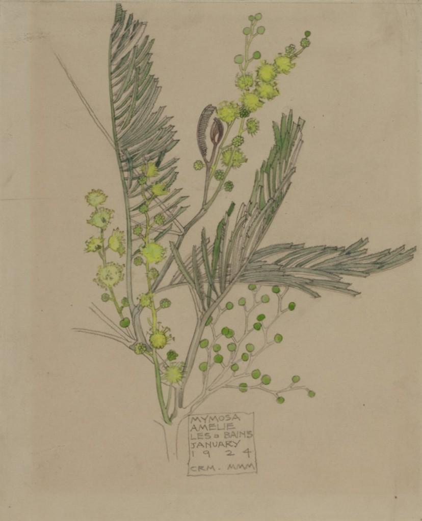 Mimosa january 1924 Source The Hunterian Museum & Art Gallery University of Glasgow