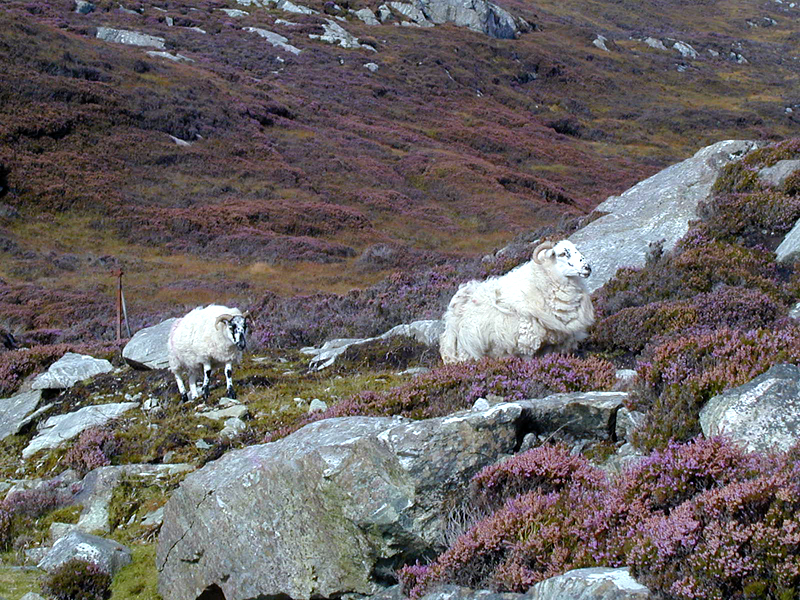 Two sheep amidst blooming heather on the island of Lewis © 2003 Scotiana