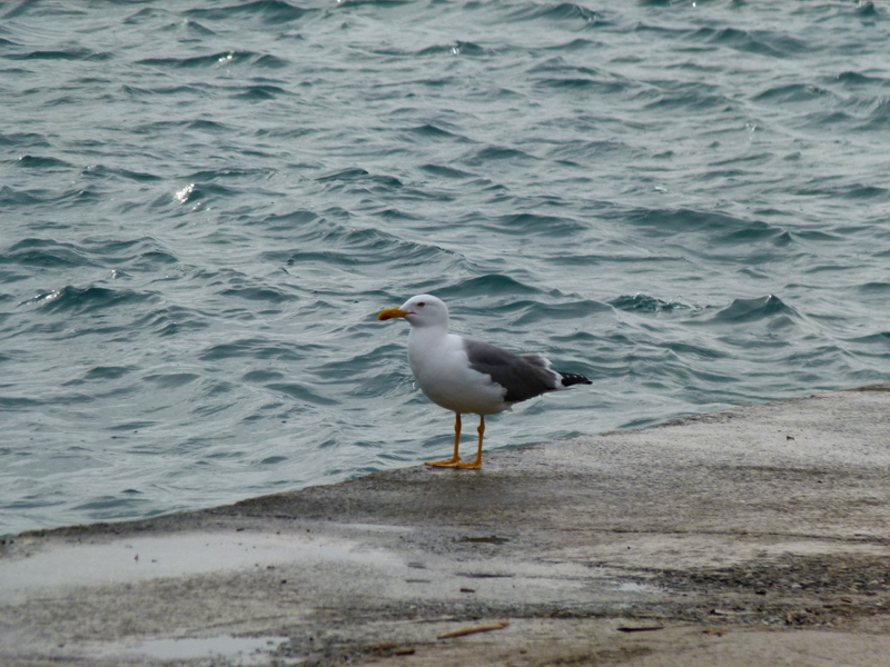 Port-Vendres - A solitary gull at the end of the mole © 2012 Scotiana