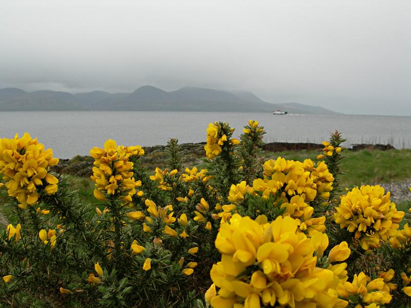 Isle of Arran yellow gorse misty landscape © 2006 Scotiana