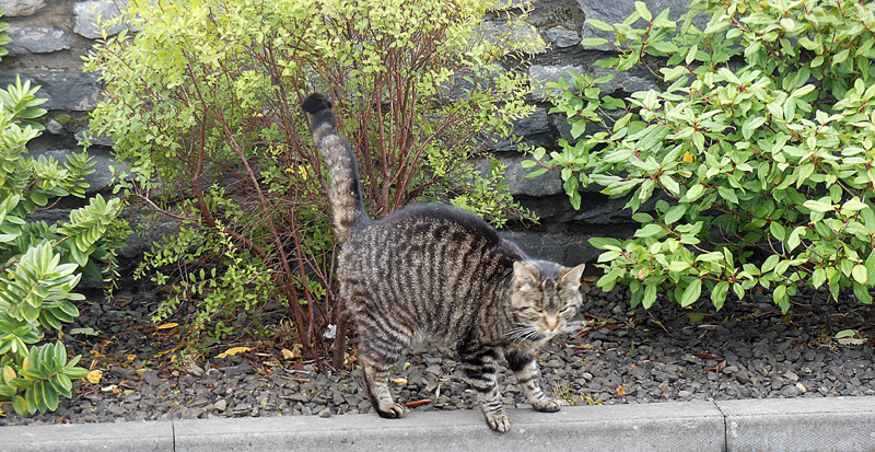 A cat in Orkney Highland Park © 2012 Scotiana
