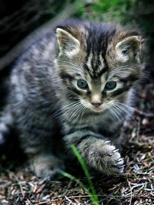 The Scottish wildcat Source BBC News Highlands & Islands