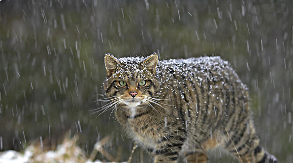 The wild cat of Scotland Source Highland Tiger