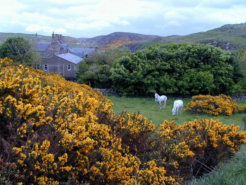 Bettyhill gorse farm white horses hills © 2001 Scotiana