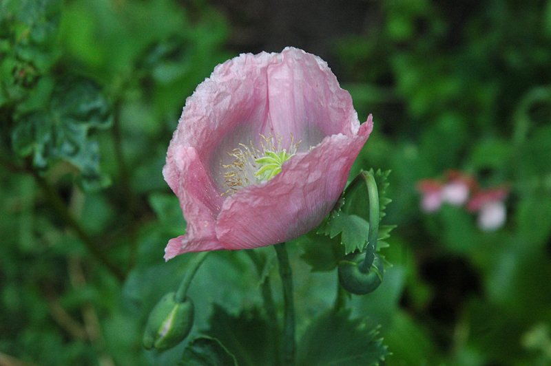 A  pink poppy in Dunmore Pineapple garden © 2007 Scotiana