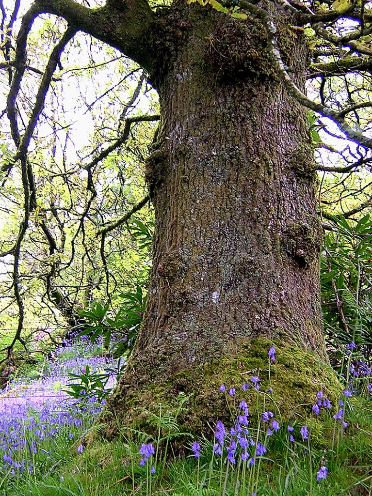 Cowal tree bluebells jacinthes des bois jacinthes sauvages © 2004 Scotiana