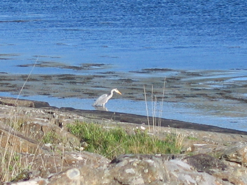A solitary heron on a western beach of Mull © 2004 Scotiana
