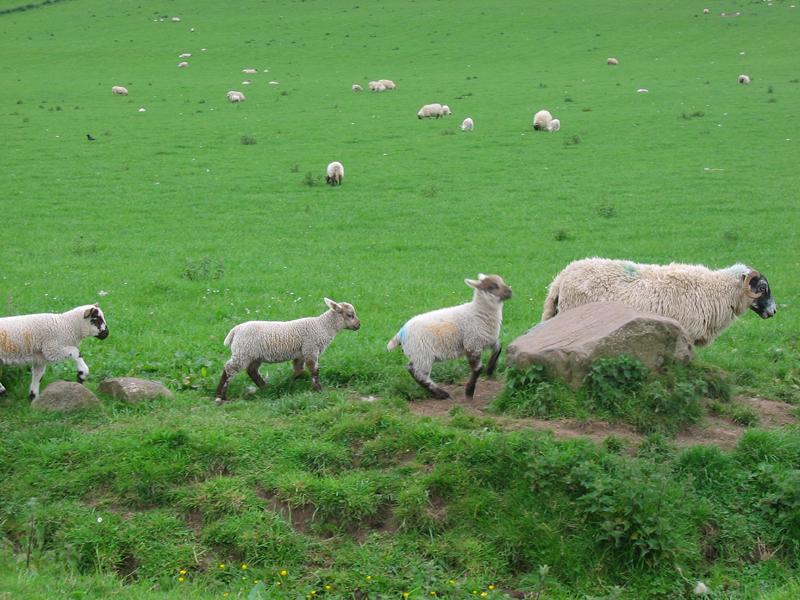 Sheep family  © 2004 Scotiana