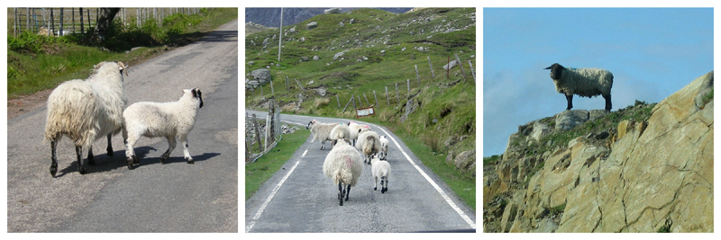 Sheep have a mind of their own  © Scotiana