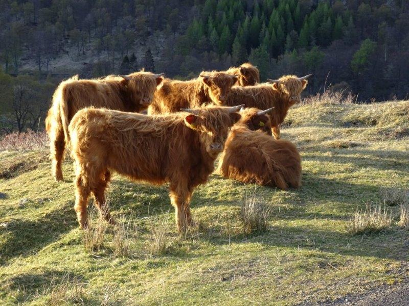 Ben Lawers highland cows