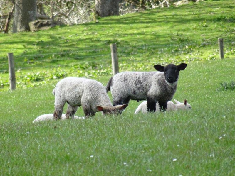 Lambs Scotland