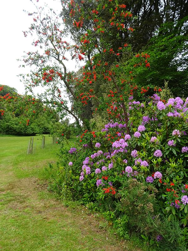 Castle Kennedy Gardens embothrium & rhodos © 2015 Scotiana