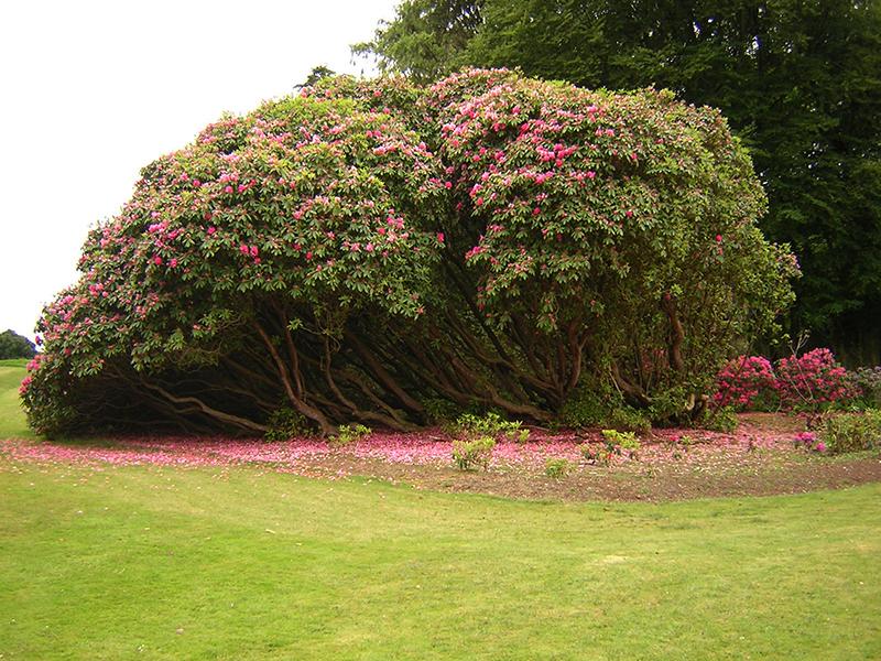 Castle Kennedy Gardens rhododendron arboreum © 2004 Scotiana
