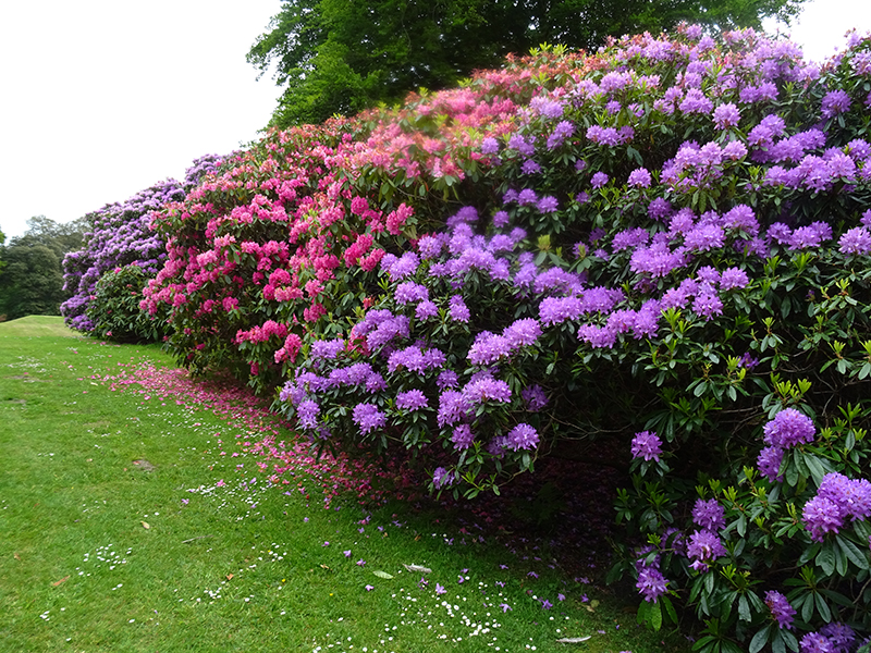 Castle Kennedy Gardens rhododendrons © 2015 Scotiana