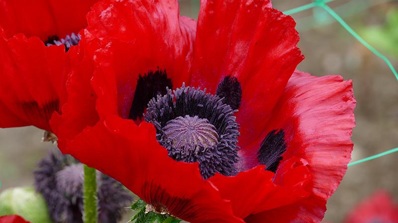 Castle Kennedy red poppy © 2015 Scotiana