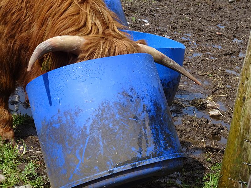 A thirsty Higland cow near Ben Nevis in Fort William © 2015