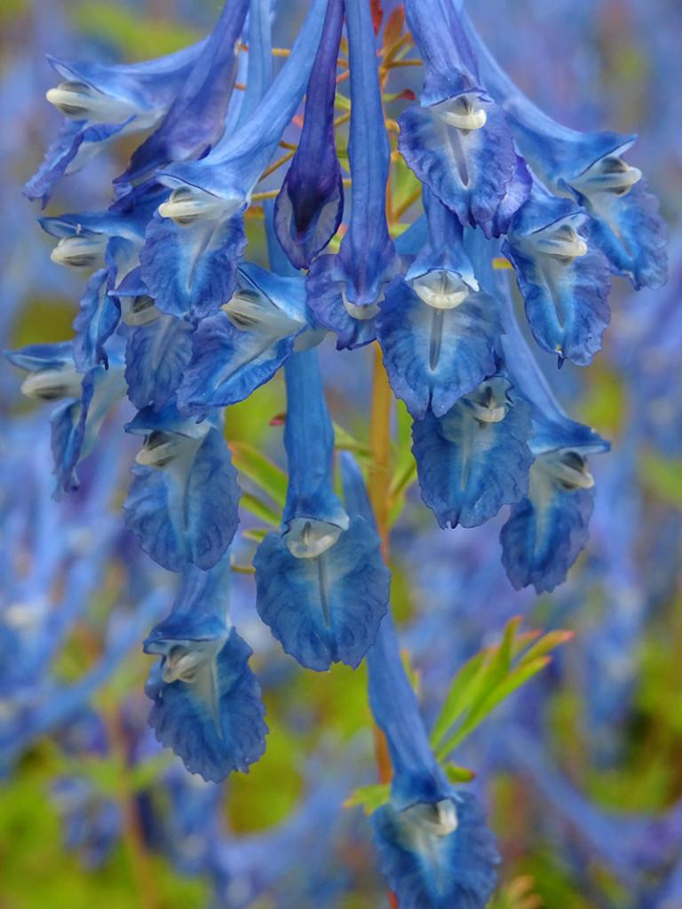 Kennedy Castle Gardens blue flowers © 2015 Scotiana
