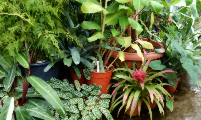 Threave Gardens - Glass House - Tropical plants © 2015 Scotiana