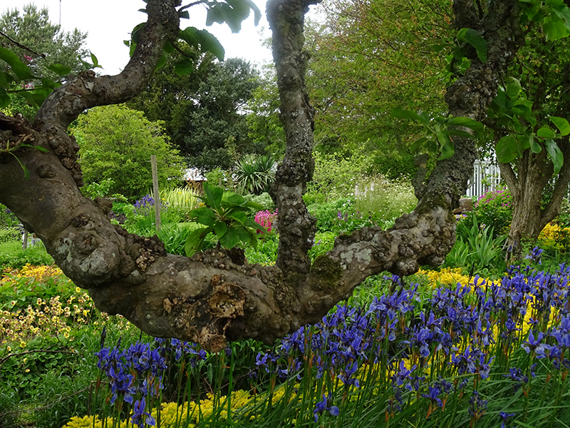 Broughton House old tree and blue iris © 2015 Scotiana