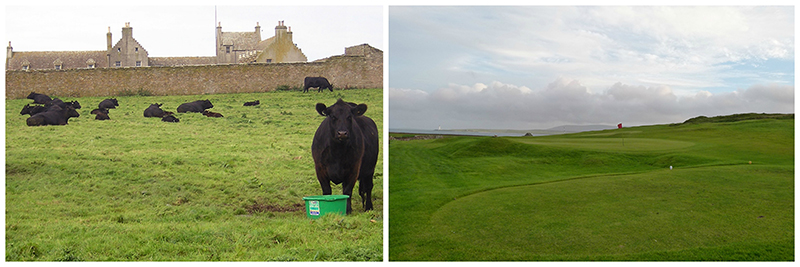Black cattle near  Skaill House and Stromness Golf © 2016 Scotiana