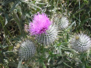 quebec-thistle
