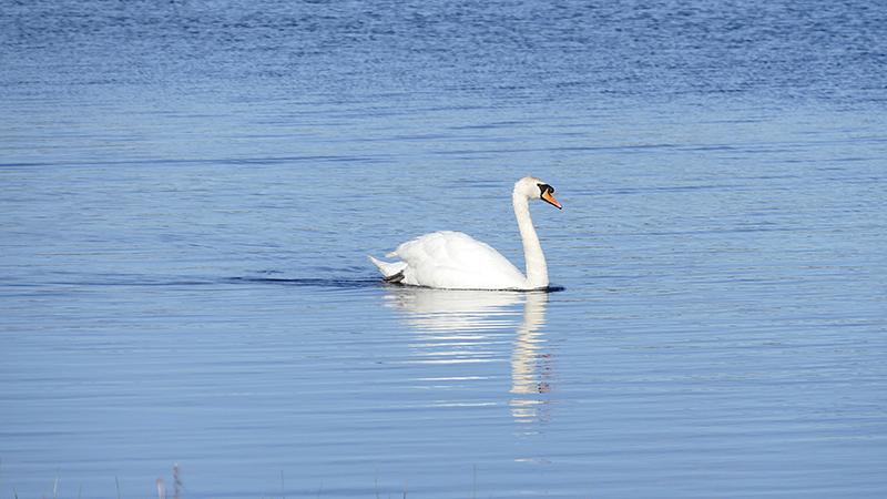 Islay Finlaggan white swan  © 2015 Scotiana