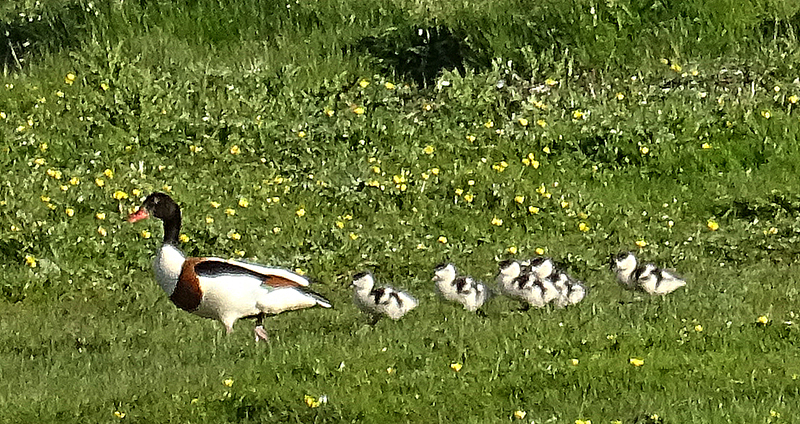 Islay shelducks family close-up © 2015 Scotiana