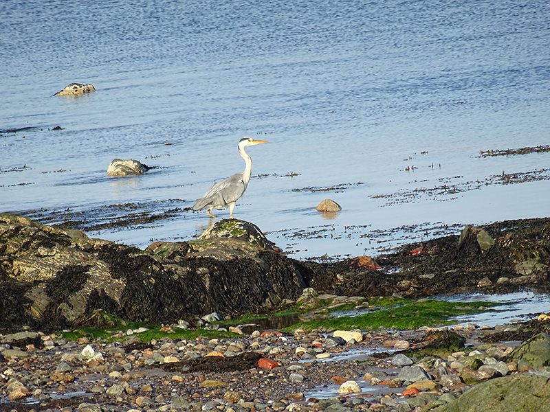 Port Charlotte beach grey heron © 2015 Scotiana