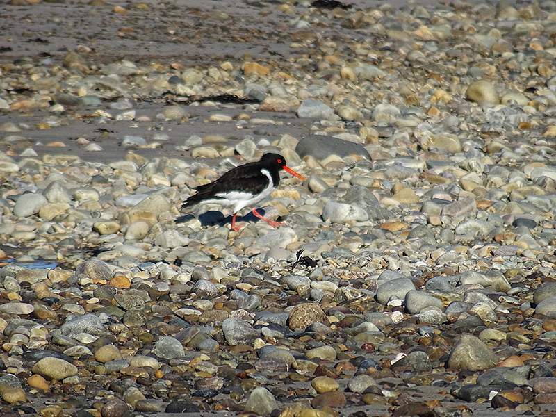 Islay Gruinart Bay oyster catcher on the beach © 2015 Scotiana