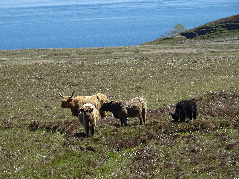 Isle of Jura Highland cows © 2015 Scotiana