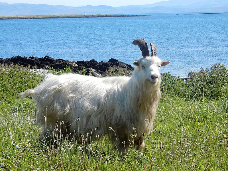 Jura laughing wild goat © 2015 Scotiana