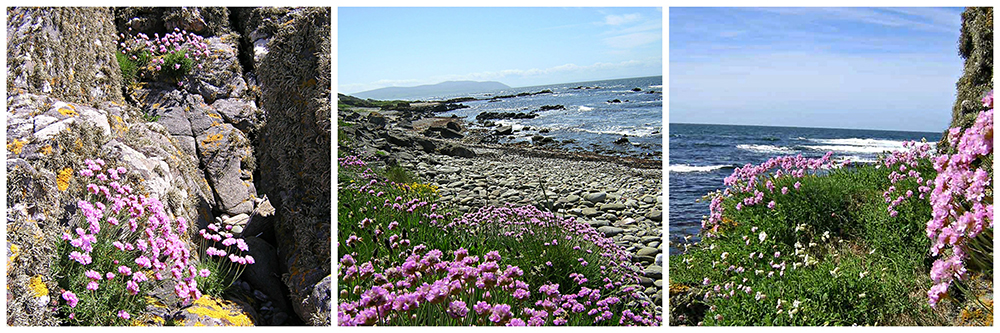 Armeria maritima blooming on the Kintyre shore in May © 2004 Scotiana