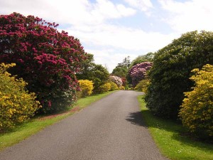 Rhododendrons Bute Scotiana 2oo4