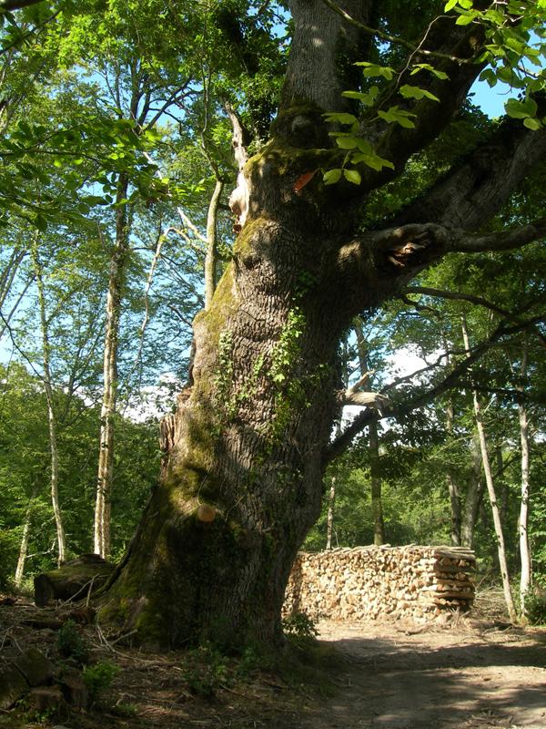 A big old tree in a forest path near the 'Château de la Verrerie'  near Aubigny-sur-Nère Berry France