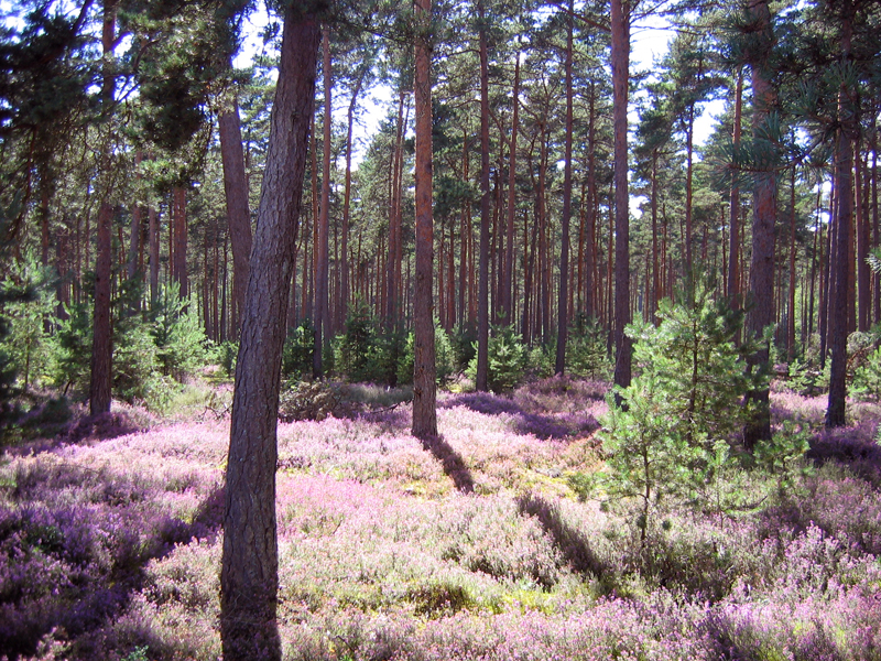Sologne Pine Forest and Heather Carpet at Nançay Berry France