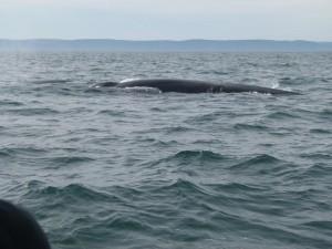 Zodiac whales watching cruise Tadoussac Quebec QC
