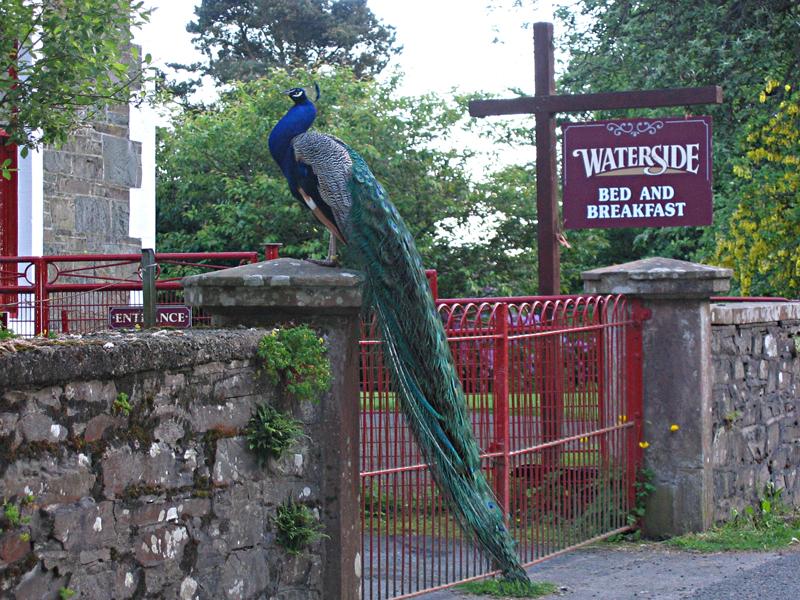 Moffat road - peacock - Waterside B&B - Dumfries & Galloway Scotland © 2004 Scotiana