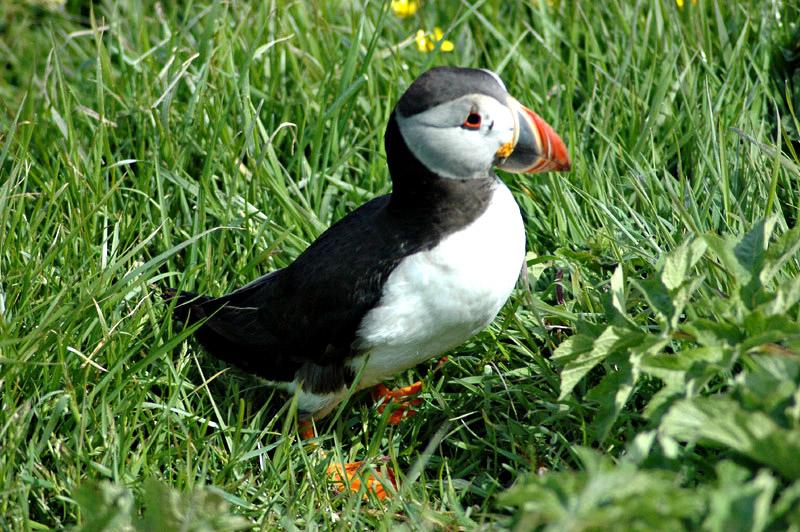 Scotland Staffa island puffin  © 2006 Scotiana