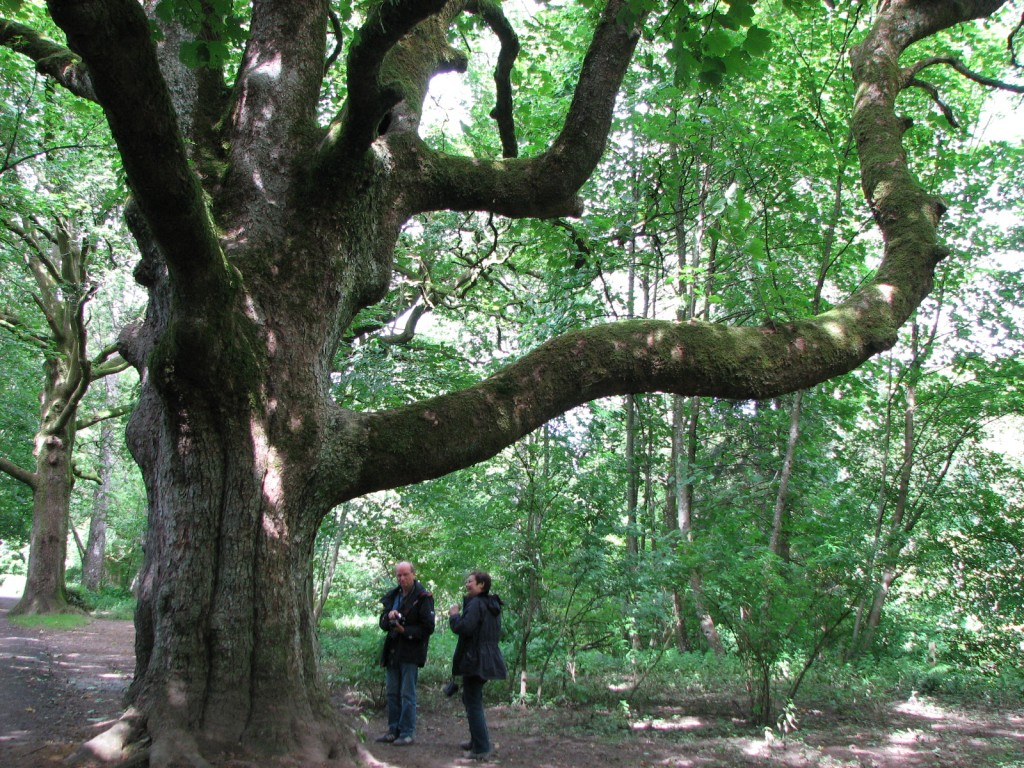 Old oak tree near the River Esk in Kirriemuir, Forfarshire, Scotland | Photo : Scotiana 2007