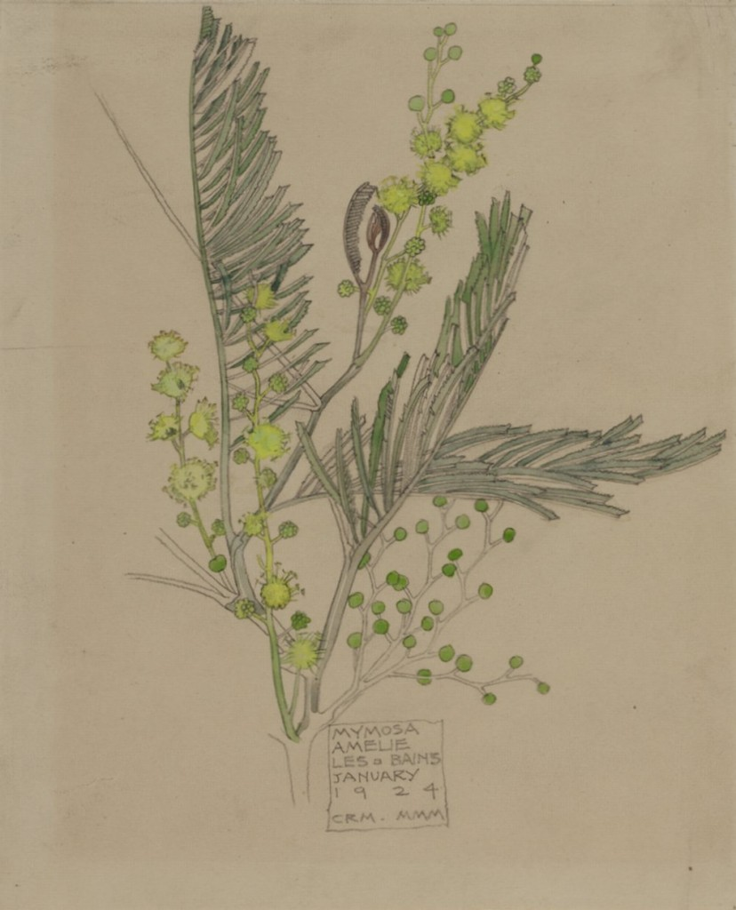 Mimosa january 1924 Source The Hunterian Museum & Art Gallery University of Glasgow