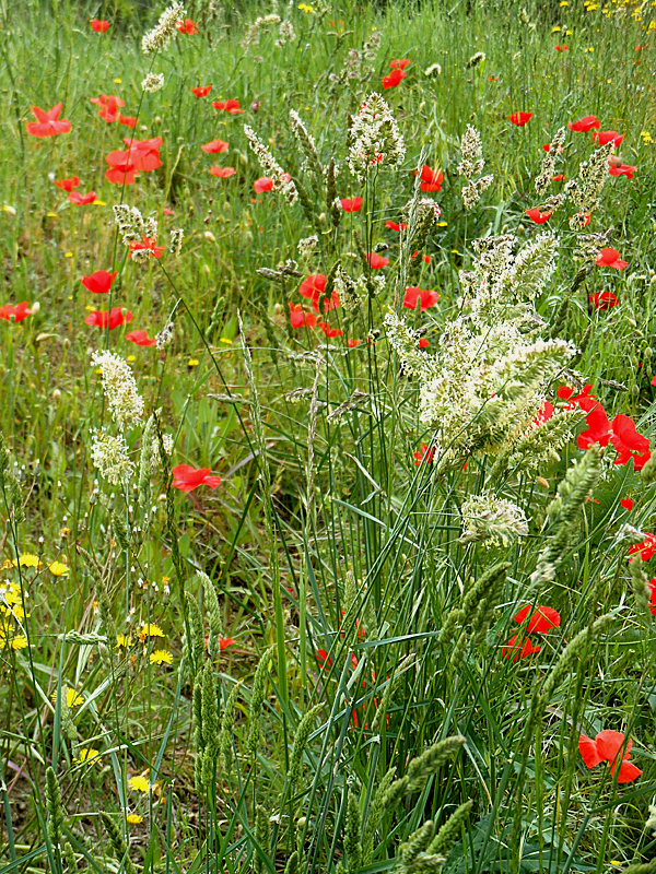 Wild flowers in Roussillon