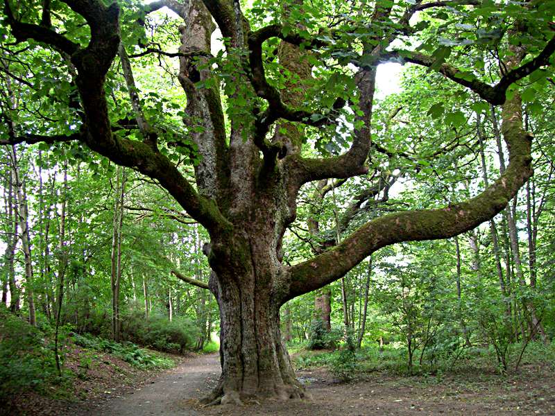 Birnam oak near Dunkeld © 2007 Scotiana