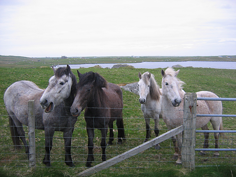 Eriskay ponies in South Uist Outer Hebrides © 2004 Scotiana